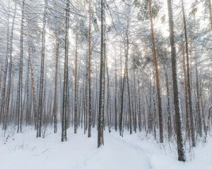 forest thicket in winter